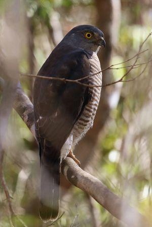 Épervier de Madagascar