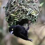 Tisserin noir