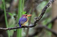 Martin-pêcheur pygmée