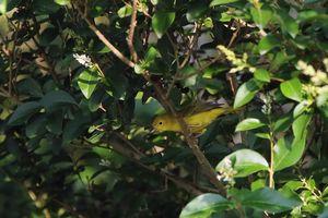 Paruline jaune - groupe aestiva