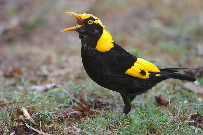Jardinier prince r gent m le immature ref sano33069 for L oiseau jardinier