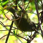 Zostérops de la Réunion