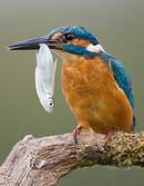 Martin-pêcheur d'Europe