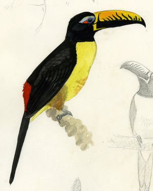 Araçari de Humboldt