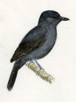 Batara bleu-gris