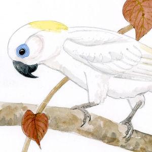 Cacatoès aux yeux bleus