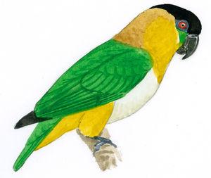 Caïque maïpourri