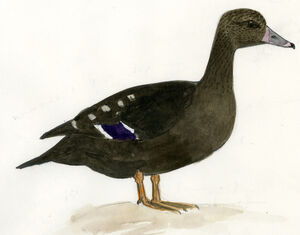 Canard noirâtre