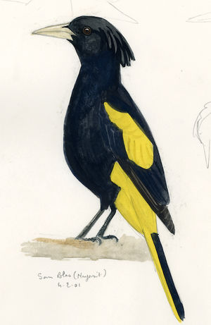 Cassique à ailes jaunes