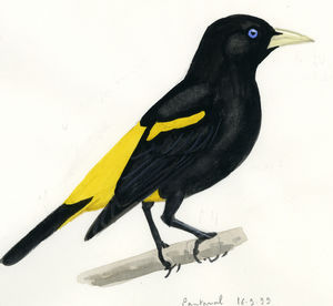 Cassique cul jaune cacicus cela for Oiseau jaune et noir