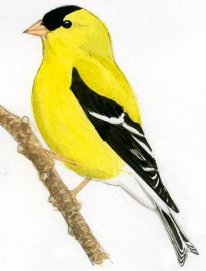 Chardonneret jaune