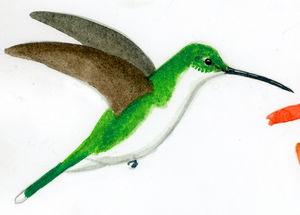 Colibri à queue verte