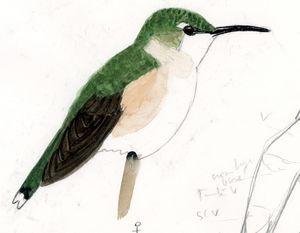 Colibri d'Arica