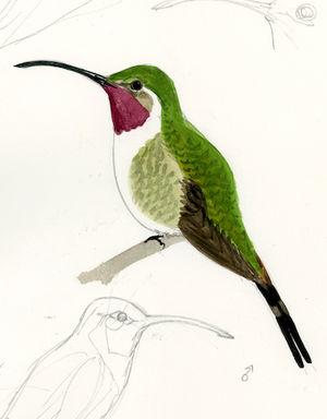 Colibri élise