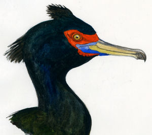 Cormoran à face rouge