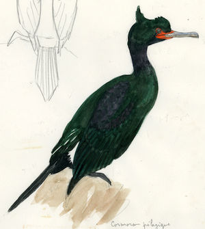 Cormoran pélagique