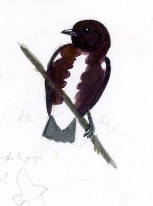 Cotinga brun