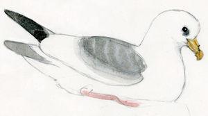 Fulmar boréal