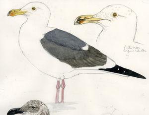 Goéland d'Audubon