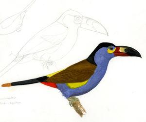 Toucan montagnard