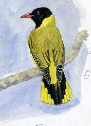 Loriot à ailes noires