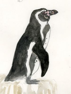 Manchot de Humboldt