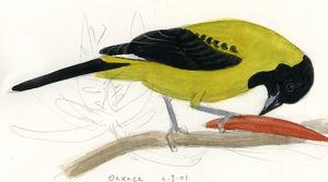 Oriole d'Audubon
