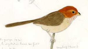 Paradoxornis à ailes brunes