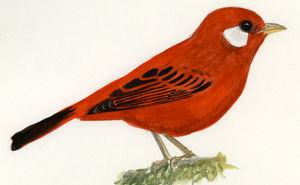 Paruline rouge