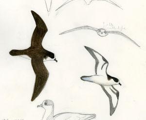 Pétrel des Galapagos