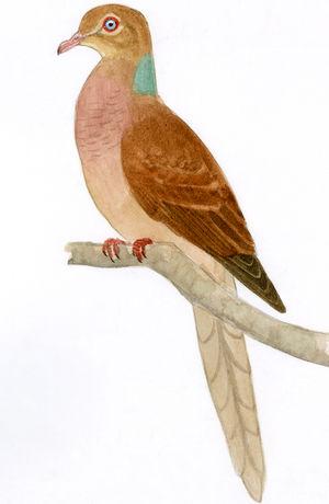 Phasianelle d'Amboine