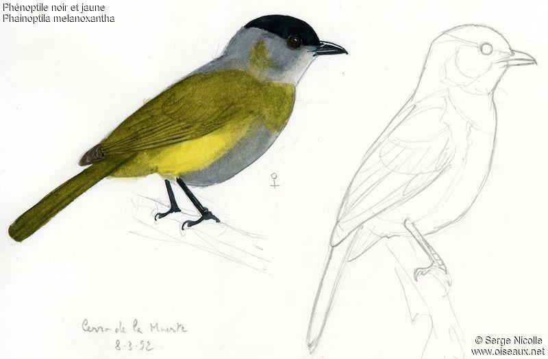Black and yellow phainoptila pictures page 1 for Oiseau jaune et noir