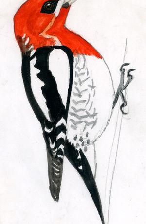 Pic à poitrine rouge
