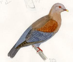 Pigeon à bec rouge