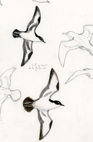 Puffin d'Audubon