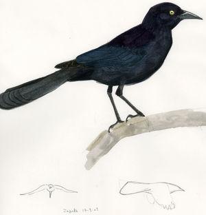 Quiscale noir - Quiscalus niger - Greater Antillean Grackle