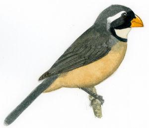Saltator à bec orange