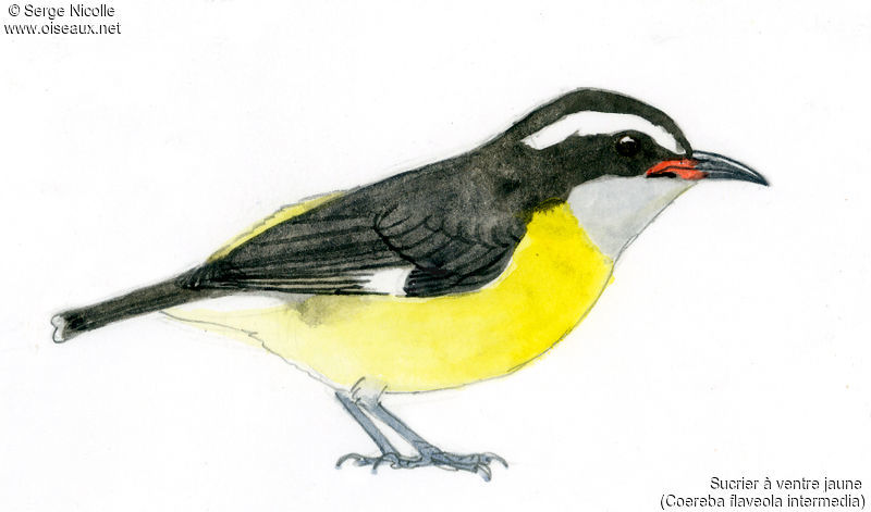 Sucrier ventre jaune ref seni148171 for Oiseau ventre jaune