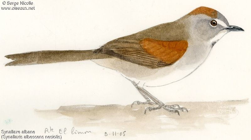 Pale-breasted Spinetail 1 - Alphabetic Order By Serge Nicolle