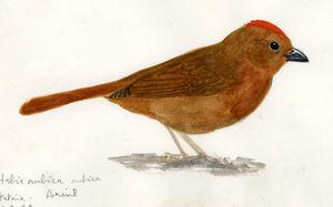 Tangara à couronne rouge