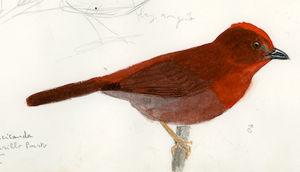 Tangara à gorge rouge