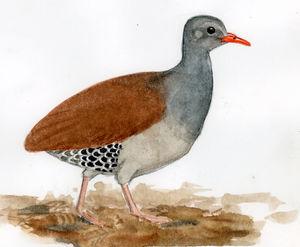 Tinamou tataupa