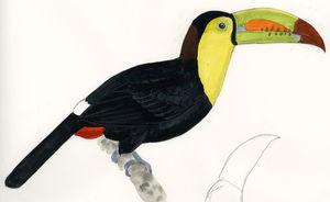 Toucan à carène