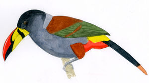 Toucan bleu