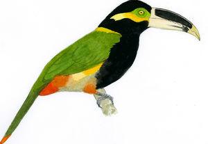 Toucanet de Gould