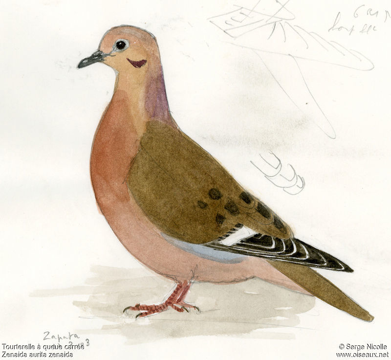 zenaida dove - photo #32