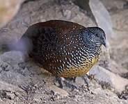 Galloperdrix lunulée