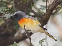 Minivet oranor