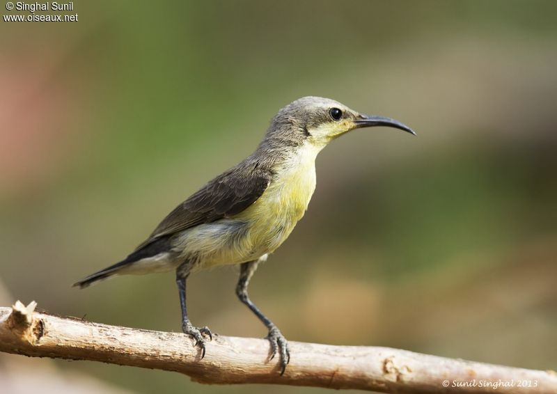 Purple Sunbird - Cinnyris asiaticus female adult - sisu139642