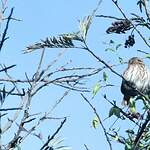 Chevêchette brune